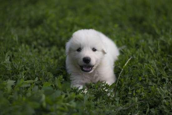 Щенки Пиренейской горной собаки в Белгороде Фото 3