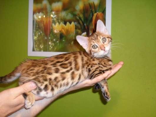 Бенгальский котёнок в Казани Фото 1