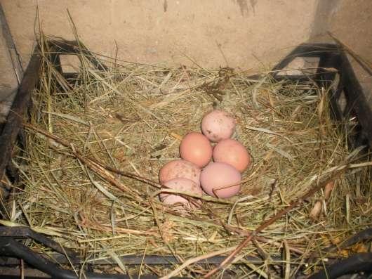 Яйца домашние куриные диетические в Туле Фото 1