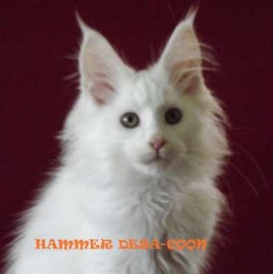 Котята мейн-кун из питомника в Пятигорске Фото 2