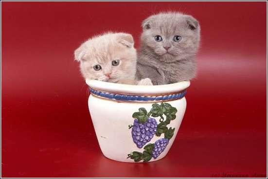 Клубные подрощенные котята в Москве Фото 1