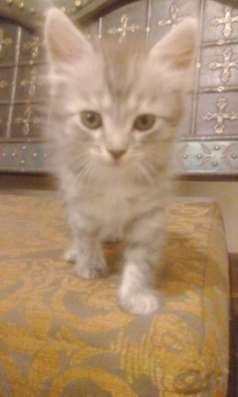Котята эрмики