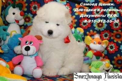 Самоед щенки в г. Новый Уренгой Фото 1