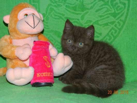 Британские шоколадные котики