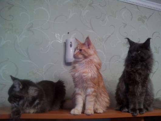 Продаются котята мейн кун в Тюмени Фото 1