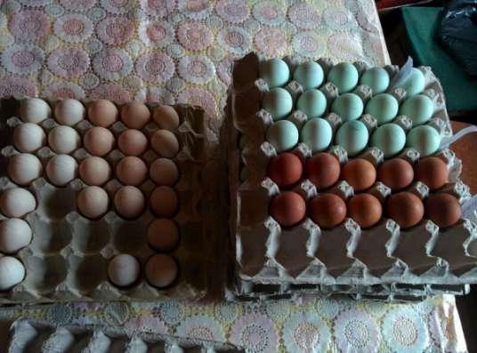 Инкубационное яйцо, цыплята, куры
