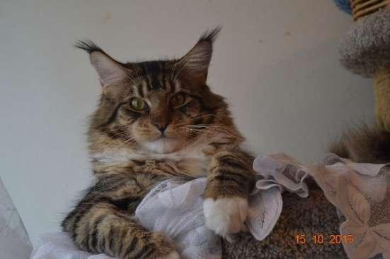 Тигровый мейн-кун - котенок мечты