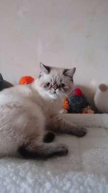 Котята персидские в Дубне Фото 1