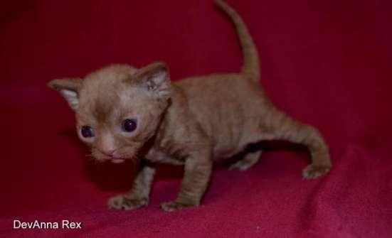 Девон рекс котята в Челябинске Фото 4