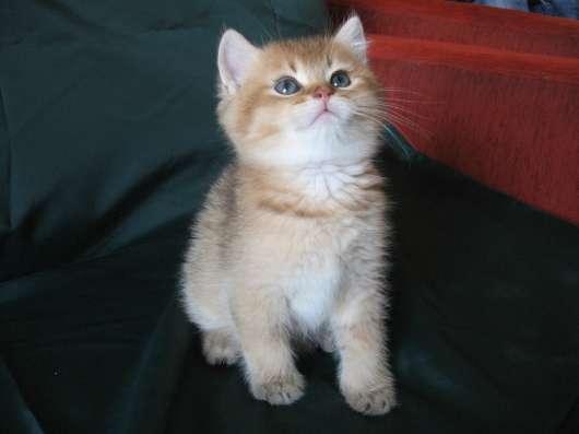 Клубные британские котята редких окрасов