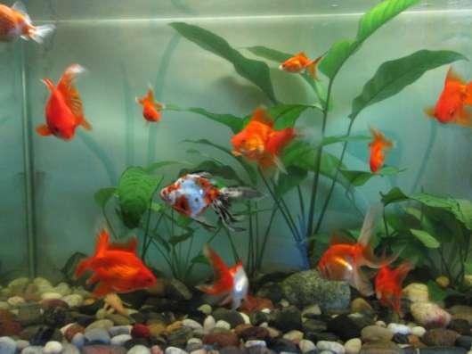Эксклюзивные золотые рыбки.