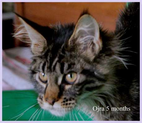 Продажа котят породы Мейн-кун