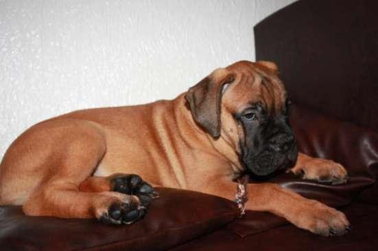 Продаются очаровательные щенки породы Бульмастиф в г. Евпатория Фото 3