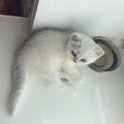 Британский котенок девочка Цедра серебристая шиншилла