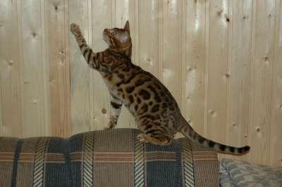 Бенгальский кот в разведение
